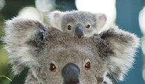 Billabong Koala and Wildlife Park - Lennox Head Accommodation